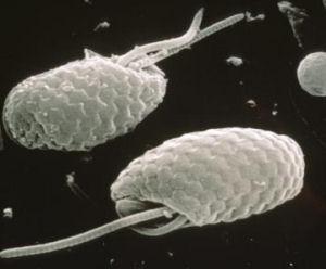 cryptophyte