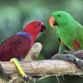 parrots_eclectus