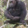 chimp_baby