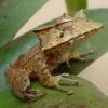 frog_h_fasciatus