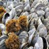 mussells
