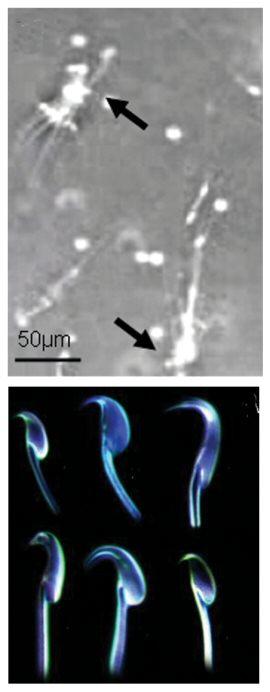 of sperm rat characteristics Physical
