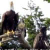hawk-adopted-by-bald-eagles